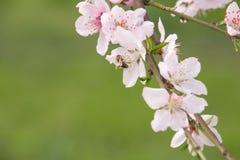 Flores y abeja de la primavera Foto de archivo