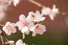 Flores y abeja de la primavera Imagen de archivo