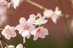 Flores y abeja de la primavera Fotos de archivo libres de regalías
