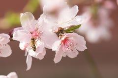 Flores y abeja de la primavera Fotografía de archivo