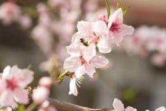 Flores y abeja de la primavera Fotos de archivo