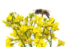 Flores y abeja de la rabina Fotografía de archivo libre de regalías