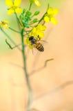 Flores y abeja de la violación Fotos de archivo