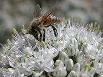 Flores y abeja del ajo Foto de archivo libre de regalías