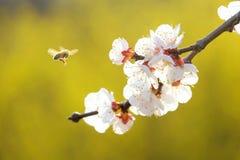Flores y abeja del albaricoque Fotos de archivo