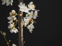 Flores y abeja del ciruelo Imagenes de archivo