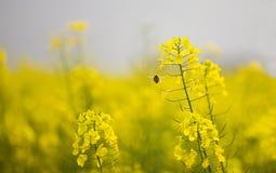 Flores y abeja del col Fotografía de archivo libre de regalías