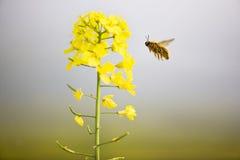 Flores y abeja del col Foto de archivo