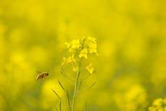 Flores y abeja del col fotos de archivo libres de regalías