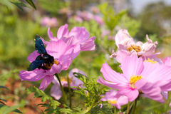 Flores y abeja del cosmos Imagenes de archivo