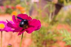 Flores y abeja del cosmos Fotografía de archivo libre de regalías