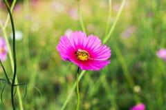 Flores y abeja del cosmos Foto de archivo libre de regalías
