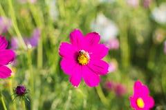 Flores y abeja del cosmos Imágenes de archivo libres de regalías