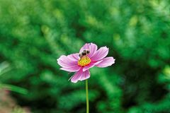 Flores y abeja del cosmos en Lauterbrunnen en el cantón Suiza de Berna Foto de archivo