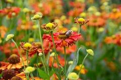 Flores y abeja del hybridum del Helenium Foto de archivo libre de regalías