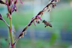 Flores y abeja del maíz Foto de archivo libre de regalías