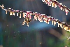 Flores y abeja del maíz Foto de archivo