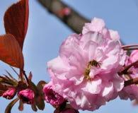 Flores y abeja del rosa de Taranto del chalet Imagen de archivo libre de regalías
