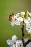 Flores y abeja florecientes del cerezo Foto de archivo libre de regalías