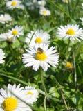 Flores y abeja frescas de la manzanilla Imagen de archivo