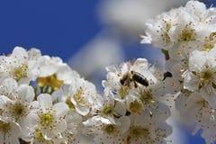Flores y abeja macras Imágenes de archivo libres de regalías