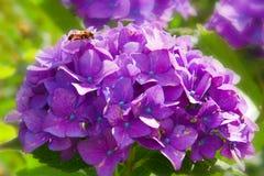 Flores y abeja púrpuras del Hortensia. Fotos de archivo