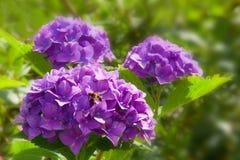 Flores y abeja púrpuras del Hortensia. Fotos de archivo libres de regalías