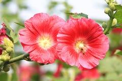 Flores y abeja rojas de la malvarrosa Fotografía de archivo libre de regalías
