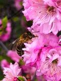 Flores y abeja rosadas Fotos de archivo