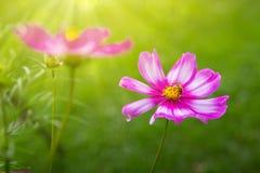 Flores y abeja rosadas del cosmos Foto de archivo libre de regalías