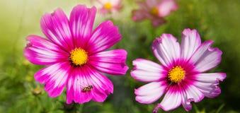 Flores y abeja rosadas del cosmos Imagenes de archivo