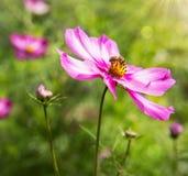 Flores y abeja rosadas del cosmos Fotografía de archivo libre de regalías