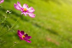 Flores y abeja rosadas del cosmos Fotos de archivo