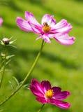 Flores y abeja rosadas del cosmos Foto de archivo