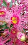 Flores y abeja rosadas del gumtree Imagen de archivo libre de regalías