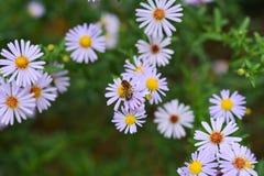 Flores y abeja rosadas hermosas en la flor Imagen de archivo