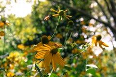 Flores y abejas amarillas con el fondo borroso Fotografía de archivo