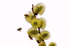 Flores y abejas de la primavera Foto de archivo libre de regalías