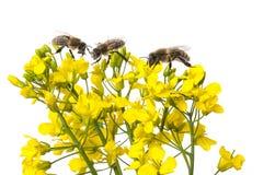 Flores y abejas de la rabina Fotografía de archivo