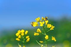 Flores y abejas de la violación Fotos de archivo