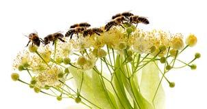 Flores y abejas del tilo Foto de archivo