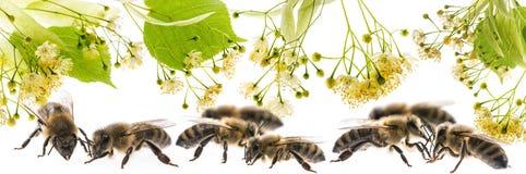 Flores y abejas del tilo Imágenes de archivo libres de regalías