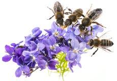 flores y abejas violetas de la primavera Imágenes de archivo libres de regalías