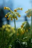 Flores y araña de la prímula en primavera fotografía de archivo