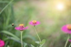 Flores y avispa del Zinnia en Tailandia Fotos de archivo