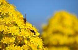 Flores y avispas del Aeonium Fotos de archivo libres de regalías