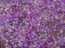 Flores y brácteas de la buganvilla en la tierra Fotografía de archivo