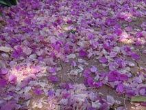 Flores y brácteas de la buganvilla en la tierra Fotos de archivo libres de regalías