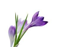 Flores y brote del azafrán Imagen de archivo libre de regalías