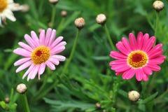 Flores y brotes de la margarita Imagenes de archivo